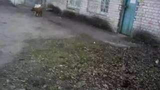 Собака трахает другую собаку
