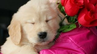 Ohio Family Raised Golden Retriever Puppies For Sale