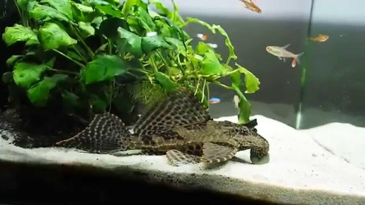 Freshwater aquarium fish nano - Scared My Pleco Freshwater Nano Cube Aquarium Day 728