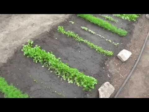 Вопрос: Какие сорта майорана лучше посадить в огороде?
