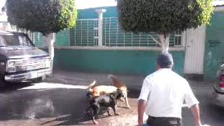 Horny dogs after female in heat