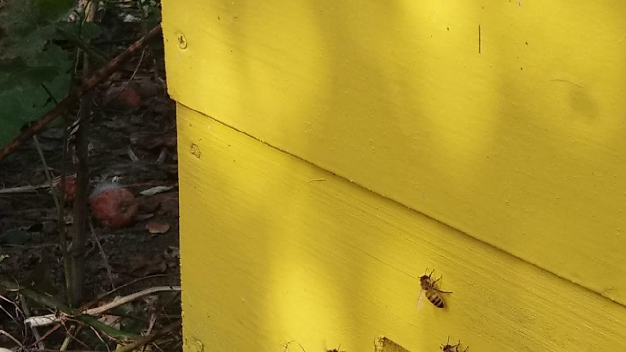 Вторая пчелосемья с маткой ИО лигустика с трутнями бакфаст В12 Теплова. 28.9.2018