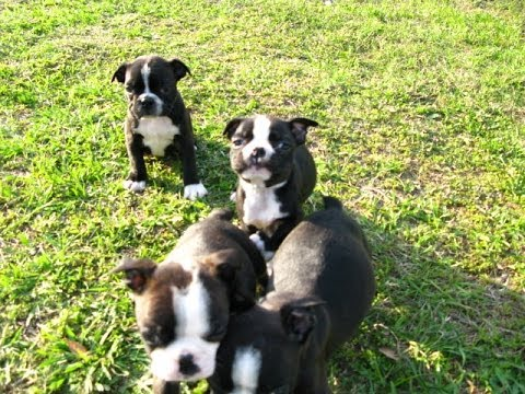 Boston Terrier Puppies Dogs For Sale In Charleston South Carolina Sc Rock Hill Hilton
