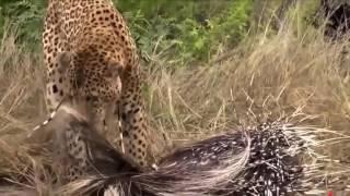 Animal Fights - Niesamowite Bitwy i ataki dzikich zwierząt #1