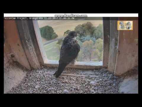 Orange Australia -Diamond, arrived,He is near,she as hunting observer, flew-2017 02 01 07 06 - 07 39