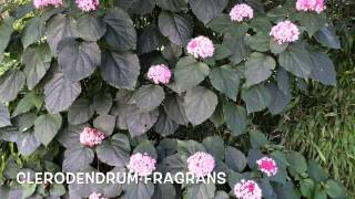 Clerodendrum fragrans.Garden Center online Costa Brava - Girona.(Clerodendrum fragrans Garden Center online Costa Brava - Girona. Web: http://personalgardenshopper.es/, 2014-11-04T19:33:12.000Z)