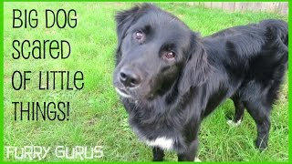 Big Dog Scared Of Little Things! | Golden Retriever - Border Collie Mix