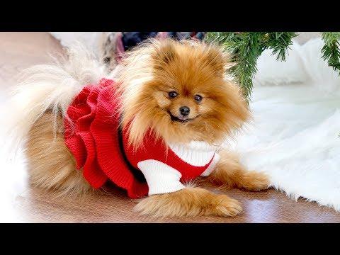 PUPPY CHRISTMAS PHOTO SHOOT | DOG PHOTOGRAPHY TIPS & TRICKS | POMERANIANS AT CHRISTMAS
