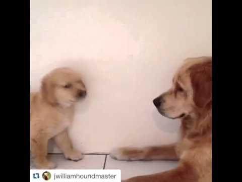 My Golden Retriever Puppy Throws a Tantrum