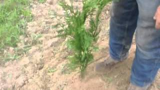 Planting Evergreens Quickly With A Tree Planter