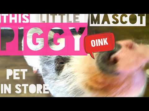 PIGGY PET IN STORE - THIS LITTLE PIGGY CAN SIT!