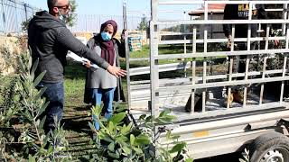 First day of olive trees distribution - 1 Dec 2020