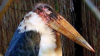 Африканский Марабу. Птицы Красной Книги. Африканский Марабу Видео. Футажи для видеомонтажа