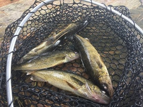 Walleyes For Shore Lunch- Marten River Lodge