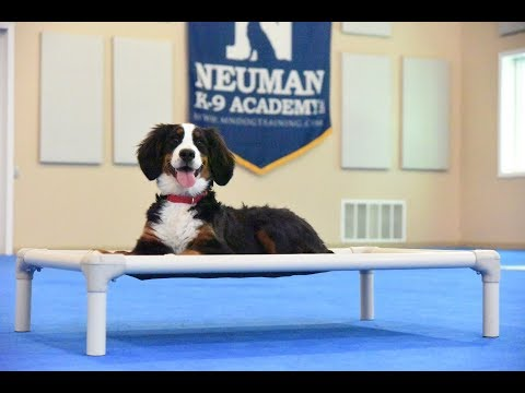 Cali (Bernese Mountain Dog) Puppy Camp Dog Training Video Demonstration