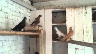азиатские голуби в лабинске(голуби в лабинске 89180889032., 2014-07-12T16:49:00.000Z)