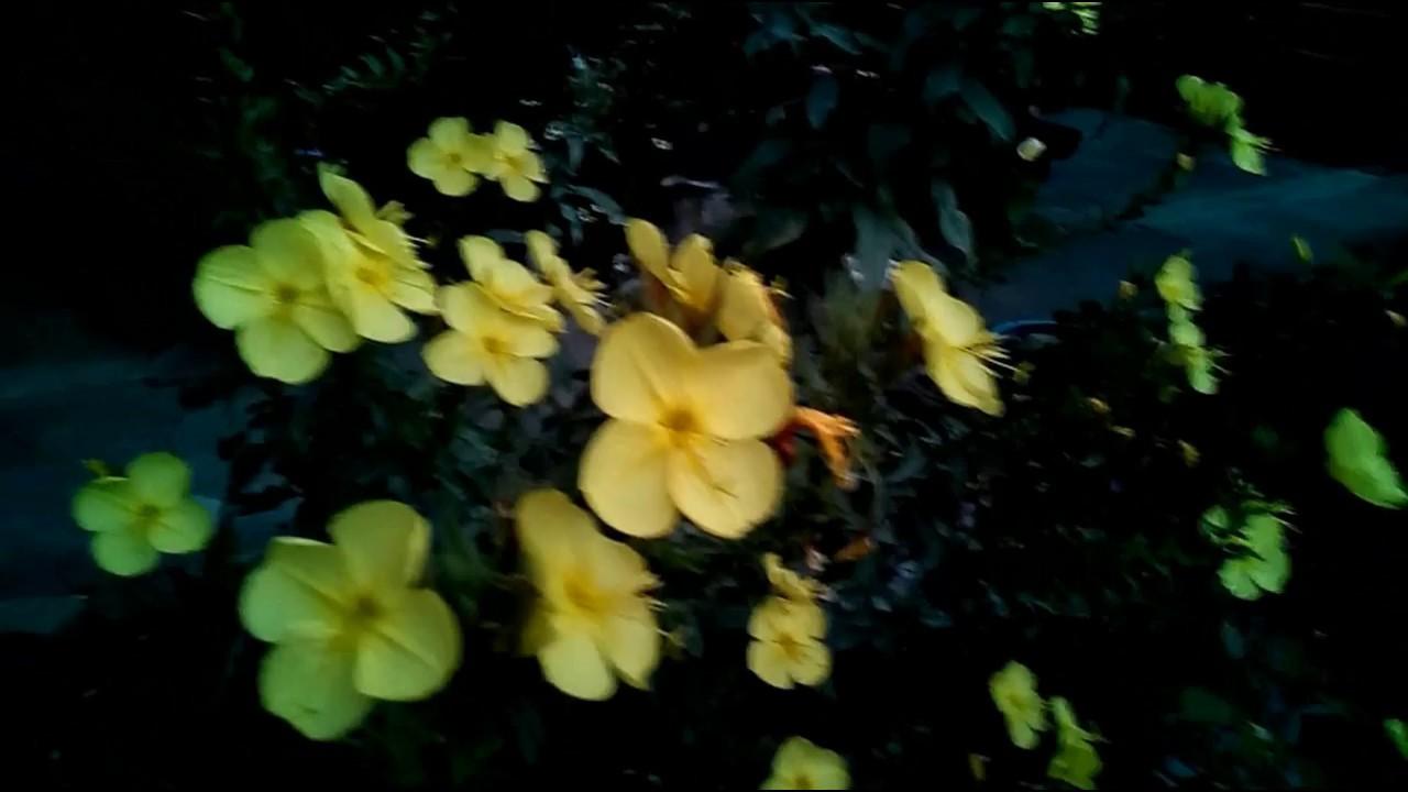 услугам гостей ночная фиалка желтая цветок фото обязательно ставятся