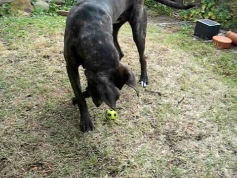 Cane Corsogreat Dane Mix Soccer For One Youtube