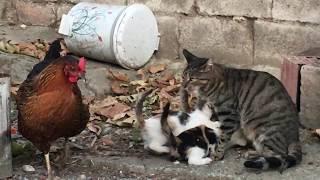 Anne Kedinin Yavruları için Tavukla Savaşı - Emzirme saati