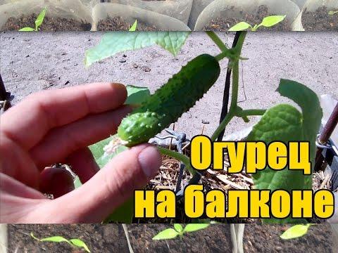 Огурец на балконе тонкости и секреты выращивания / Как вырастить огурец на окне