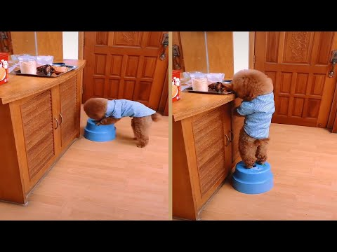 Smart Poodle Dog Stealing Food