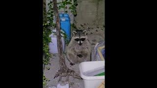 庭でペットが野生のアライグマに捕食される瞬間を捉えた衝撃映像