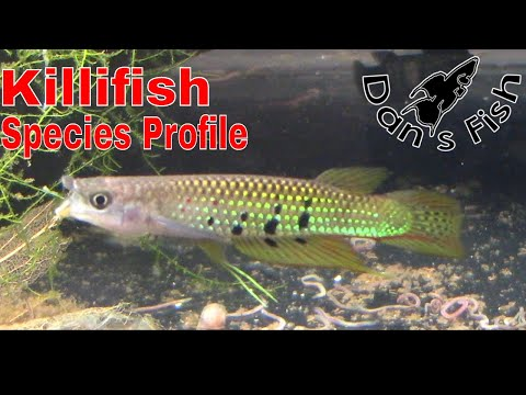 Awesome Killifish: Aplocheilus Dayi