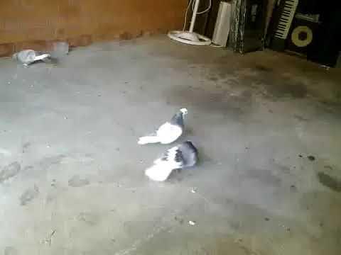 My Pigeons