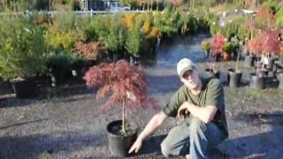Tending your Crimson Queen Maples in Titusville NJ