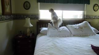 Kc The Cavalier King Charles Spaniel & Shih Tzu Mix Guard Dog In Kent Wa