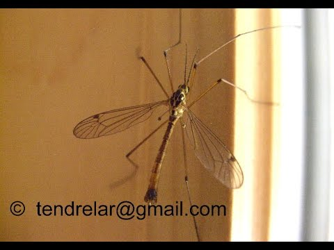 A harmless Diptera insect : the crane-fly