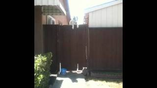 Siberian Husky Jumping The Fence