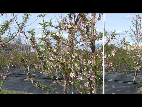 peach research Texas A&M AgriLife b-roll