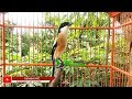 Kicauan Burung Cendet Gacor Ini Bakal Latih Cendet Muda Mu Makin Pinter Gacor  Mp3 - Mp4 Download