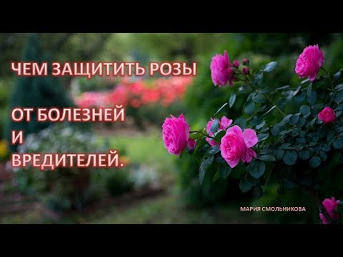 Чем защитить розы от болезней и вредителей.