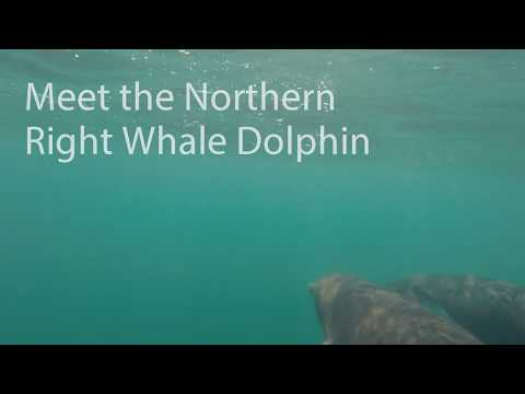 GoPro: Northern Right Whale Dolphins - Monterey Bay