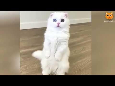 Dilarang Ketawa!!! Kelakuan Kucing Lucu Berdiri 2 Kaki Sambil Joget [Update Terbaru 2017]