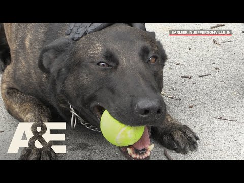 Download Youtube: Live PD: Running Drills with K9 Flex (Season 2) | A&E
