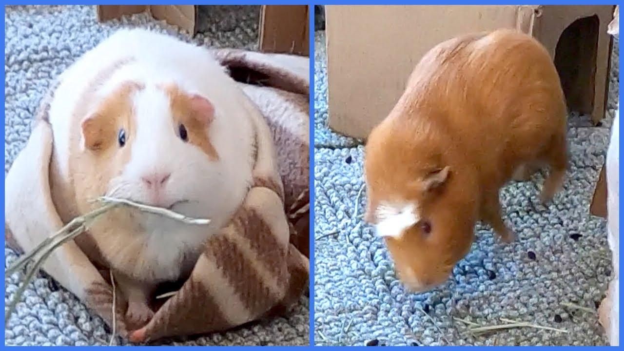 2 cute guinea pig behaviors - popcorning and burrowing!