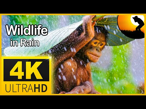 4K Wildlife Animals In Rain , Relaxing Music & Soft Rain Sounds: Relaxing Piano Music