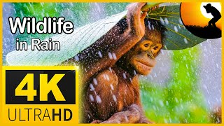 4K VIDEO (ULTRAHD) WILDLIFE ANIMALS IN RAIN    NATURE RELAXATION FOR 8K AND 4K TV