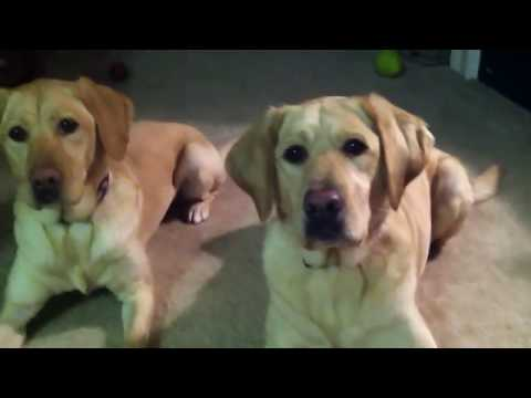 2 labs barking