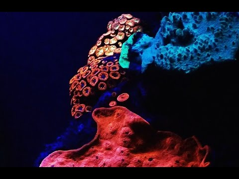 Glowing corals discovered in the Red Sea