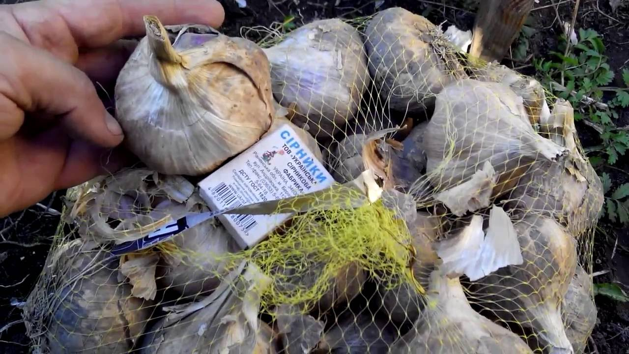 Мы в нашем небольшом хозяйстве сейчас выращиваем одиннадцать сортов ярового и озимого чеснока в том числе и слоновий чеснок в россии более известный, как рокамболь или лук причесночный. В наши планы. Озимый чеснок. Также мы предлагаем семена редких сортов острых и сладких перцев.