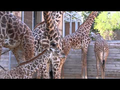 Thumbnail: Baby Giraffe Kamili Goes Out for First Time