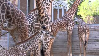 Baby Giraffe Kamili Goes Out for First Time