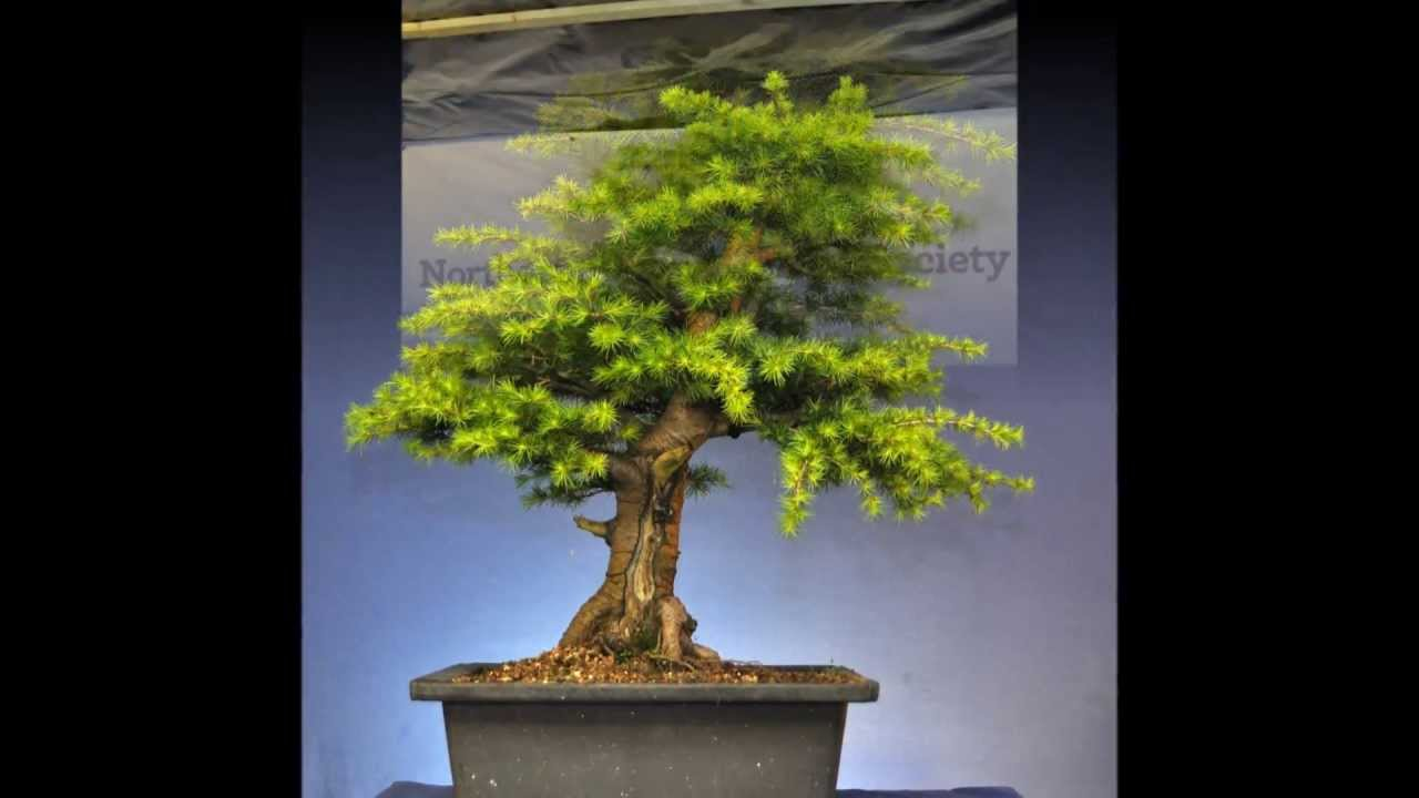 Cedar Bonsai Progression And Styling 2013 Youtube