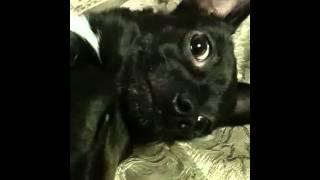 Dog Licks Her Paw