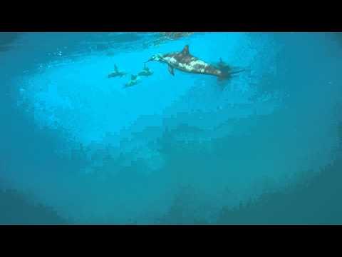 Simmar med vilda delfiner Hawaii