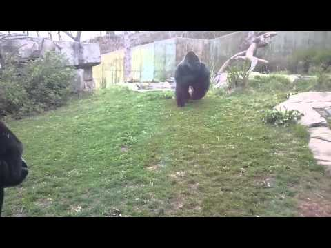 When a Silverback brutal attacks man
